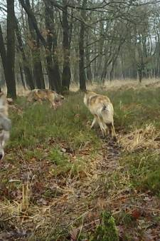 Zeer zeldzame beelden op de Veluwe: camera legt grote wolvenfamilie vast