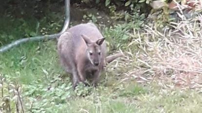 Kangoeroe huppelt rond in Vallei van Serkampse beek