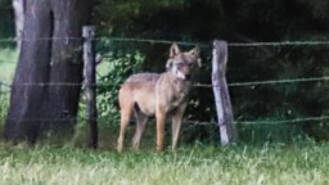"""Wolf Billy mogelijk doodgeschoten in Frankrijk: """"DNA-staal moet zekerheid brengen"""""""
