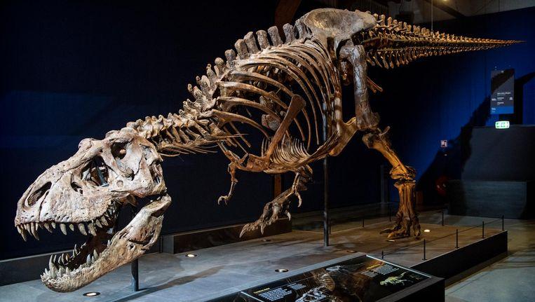 Trix, het enige echte skelet van een Tyrannosaurus rex dat buiten de VS staat opgesteld, in een zaal van museum Naturalis. Beeld anp