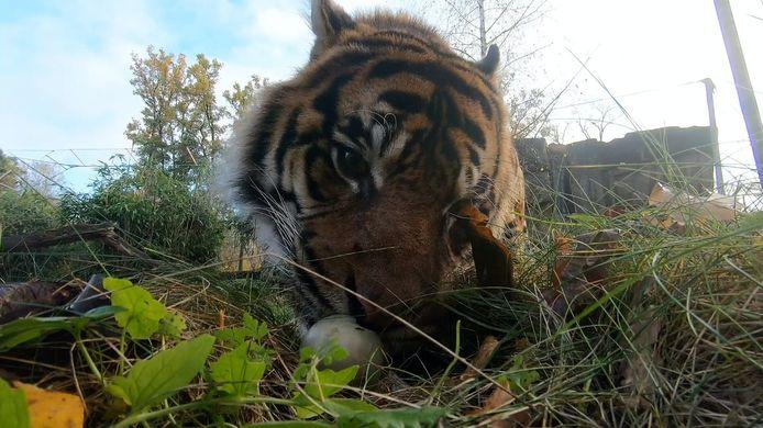 Deze tijger kreeg een speciaal hapje