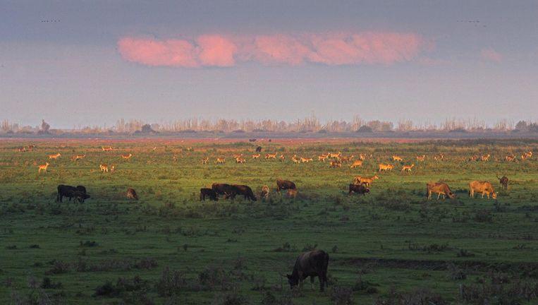 De Oostvaardersplassen in Flevoland, een natuurgebied waar zogeheten grote grazers het dichtgroeien tegengaan. In de oertijd is het vermoedelijk anders gegaan. Beeld Foto Ruben Smit