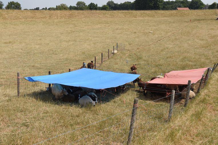 Een boer heeft schaduwplekken gemaakt voor zijn schapen Beeld null