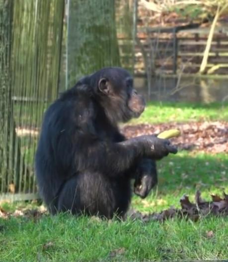 Burgers' Zoo komt met parodie op banaankunst: aap eet 'banaan van 150.000 euro op'