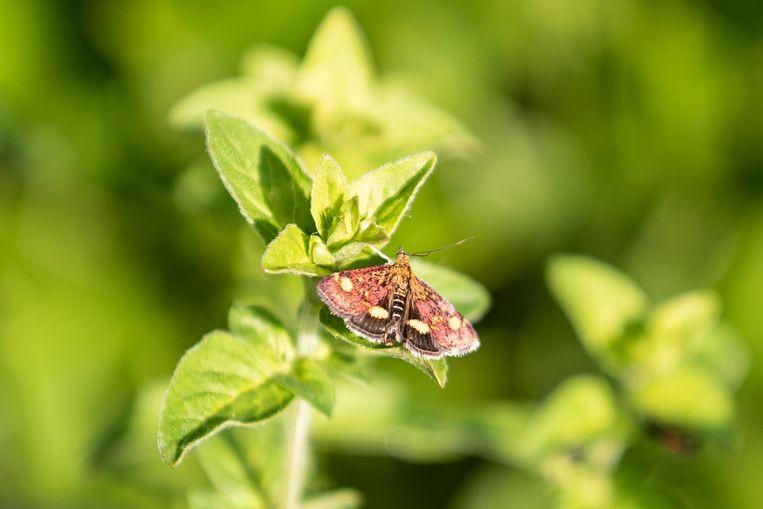 Een muntvlindertje. Beeld Simon Lenskens