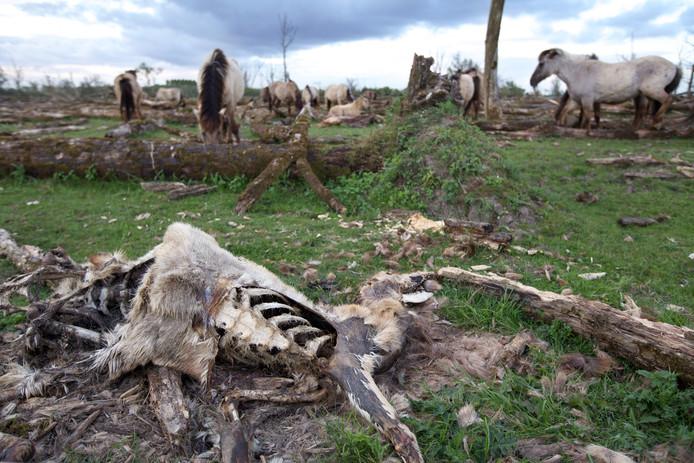 Een dood hert in de Oostvaardersplassen.