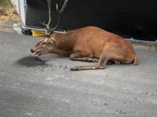 Hert vlucht naar de stad om te ontsnappen aan jagers