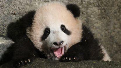 """De dierentuin is een kraamkliniek: schattige baby's doen kassa rinkelen, """"maar helpen van soorten is prioriteit"""""""