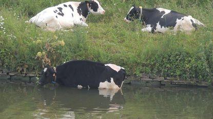 Brandweer redt koe uit Vaart