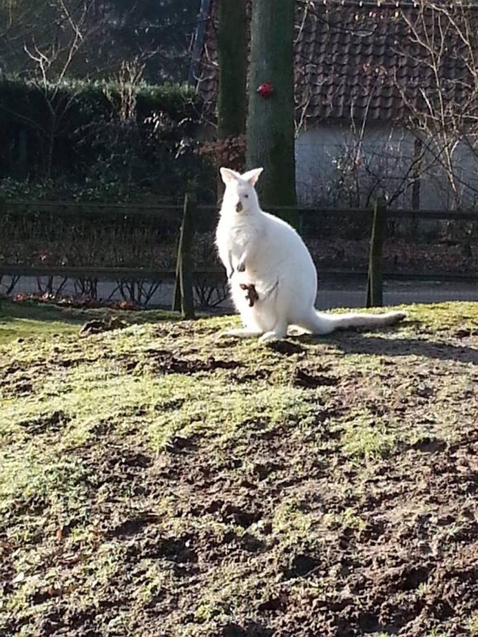 De witte wallaby die is gestolen. Foto Accres