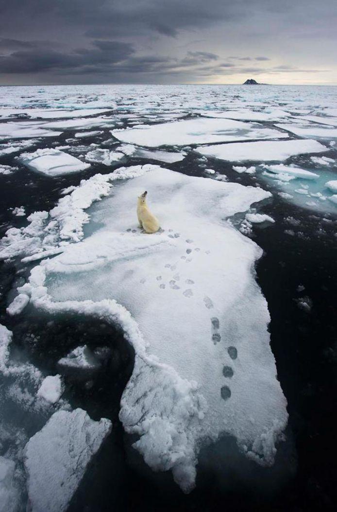 Een ijsbeer op een schots in het poolgebied. Hij kan niet onmiddellijk ergens heen.