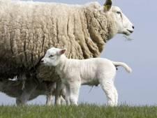 Inschattingsfoutje: 'Onvruchtbare' ram maakt 257 schapen zwanger