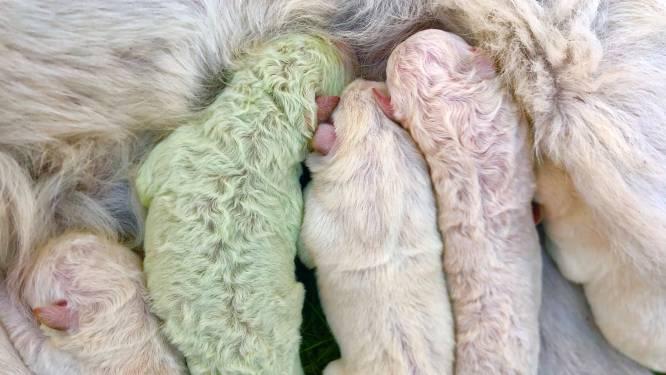 """Welkom kleine 'Pistache': puppy met groene vacht geboren op Sardinië, """"de kleur van de hoop"""""""