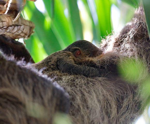 In het dierenpark Pairi Daiza is een babyluiaard geboren.