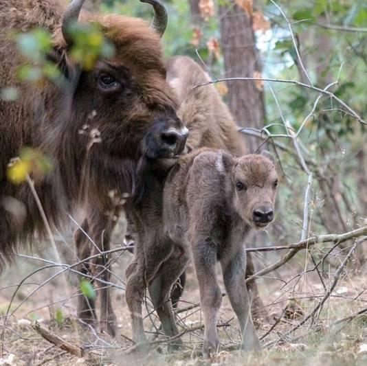 Het pasgeboren kalf met een volwassen wisent.