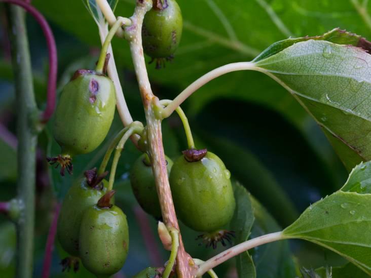 Deze vruchtboom kan heel goed tegen de Nederlandse kou