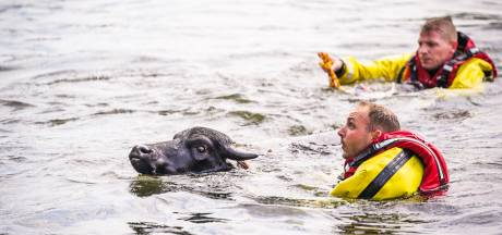 Dertien waterbuffels gered uit kanaal in Son en Breugel