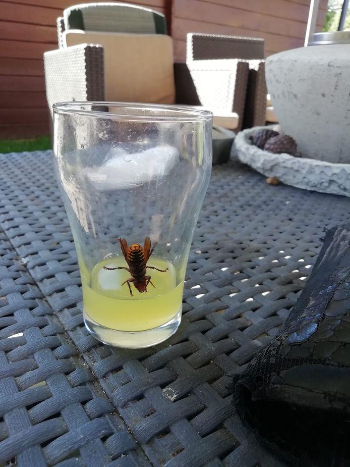 Gevangen in Knegsel, een Europese hoornaar.