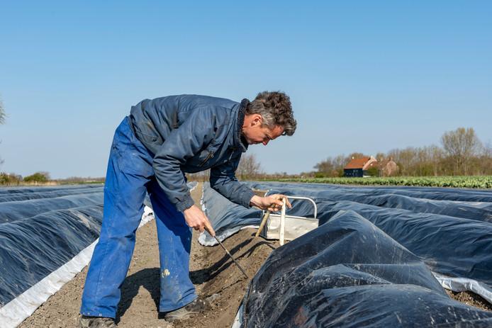 Bart Dekker oogst zijn asperges.