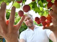 Manderveense Aardbei laat minimagezinnen gratis aardbeien plukken