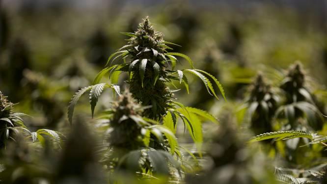 Binnenkort legale cannabisteelt in ons land