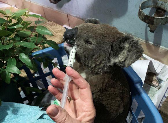 Een gewonde koala in het koalaziekenhuis in Port Macquarie.