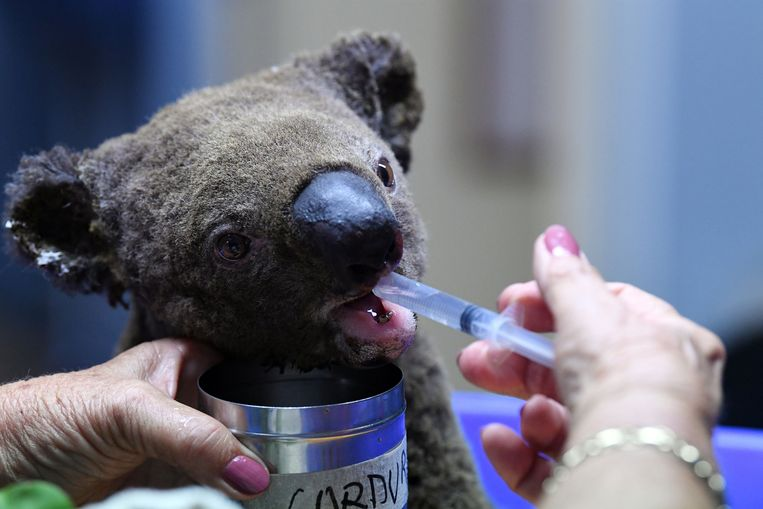 Een gewonde en uitgedroogde koala wordt behandeld in het Port Macquarie Koala Hospital in Port Macquarie.
