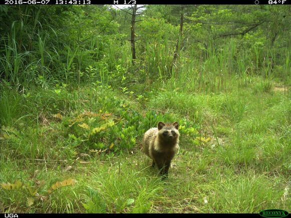 Wilde dieren profiteerden van de afwezigheid van mensen in Fukushima en heroverden het gebied.