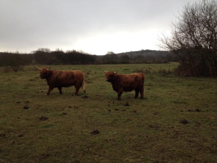Schotse hooglanders.