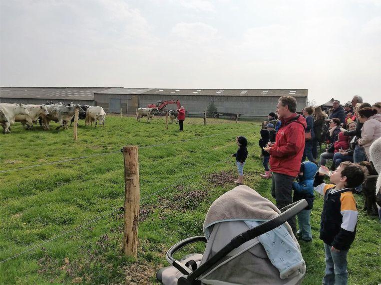 Koeien worden na de winterperiode weer de weide opgestuurd.