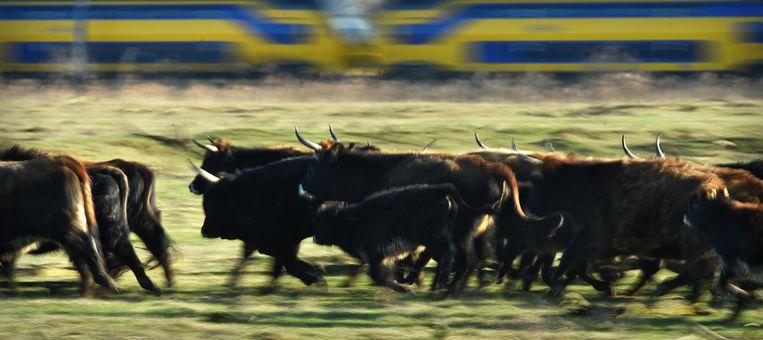 Hekrunderen rennen met een trein mee. Beeld Marcel van den Bergh / de Volkskrant