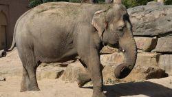"""Verdriet om overleden Dumbo is kolossaal: """"Olifanten kwamen en gingen, maar Dumbo bleef. Tot nu"""""""