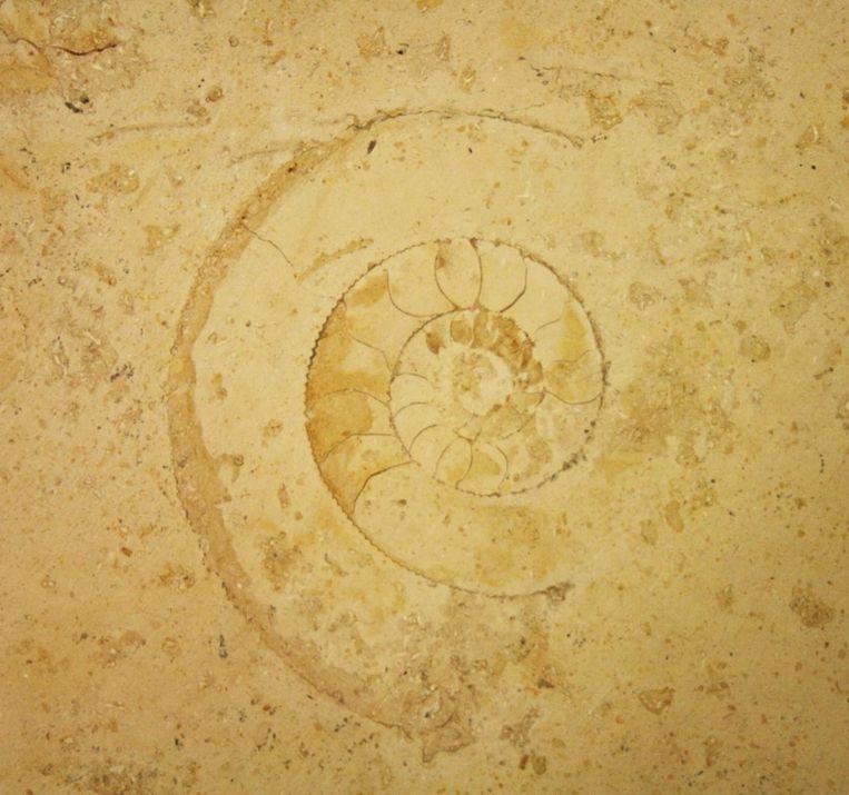 Ammoniet van rond de 155 miljoen jaar oud in de vloer van winkelcentrum Hoog-Catherijne, Utrecht. Beeld Jelle Reumer