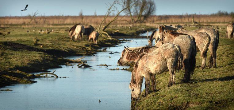 Een kudde konikspaarden Beeld Marcel van den Bergh / de Volkskrant