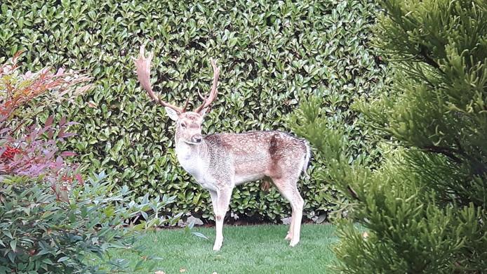 Het damhert lag de hele dag in de tuin van Nico van den Beemd.