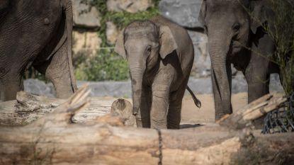 Wild idee? Pairi Daiza zet olifant uit in het wild