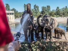 Een sproeier op de alpaca's - zo houden  dieren in Zuidoost-Brabant het hoofd koel