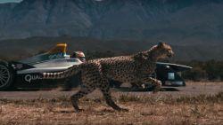 Prachtig in beeld gebracht: cheeta racet tegen Formule E-wagen