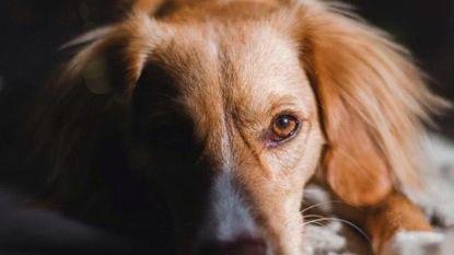 En Vogue: baasjes zetten massaal hun hond op de cover van 'Dogue'