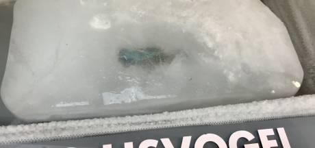 Hoe lang blijft de beroemde ijsvogel nog te bewonderen in zijn blok ijs?