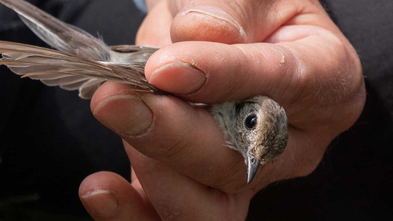 Een bonte vliegenvanger in de handen van professor Christiaan Both.