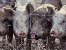 Varkens zijn beter af met gesprek