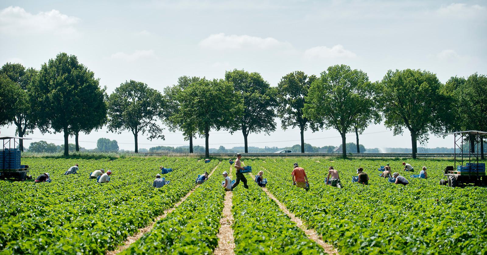 Poolse seizoensarbeiders oogsten aardbeien bij landbouwbedrijf Aan d'n Akker in Wouw.