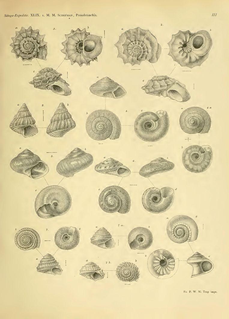 Collectie Naturalis: de weekdierdeskundige Mattheus Marinus Schepman schreef de Siboga-monografie over de zeeslakken. Beeld