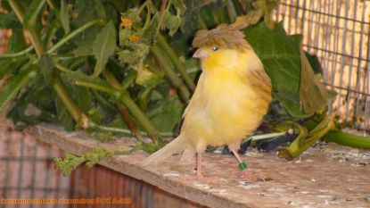 Dieven roven kanaries uit volières: 85 vogels gestolen op twee verschillende plaatsen