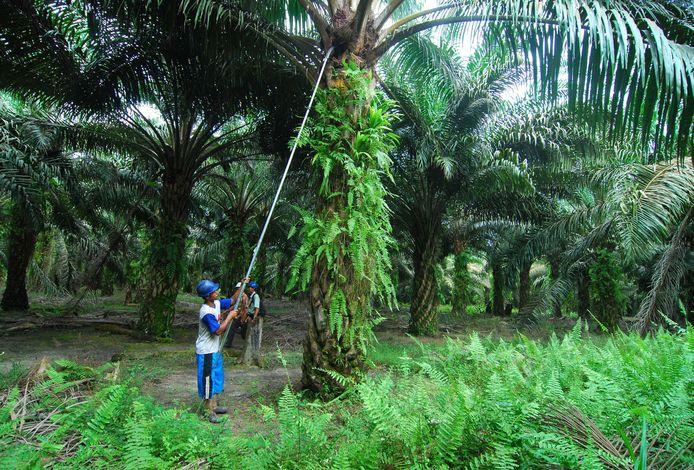 Een werker oogst palmolie, waarvoor veel bos moet wijken