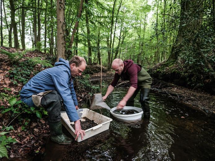 De ecologen Matthijs de Vos (links) en Mick Vos op zoek naar de beekprik in de Ratumse beek.