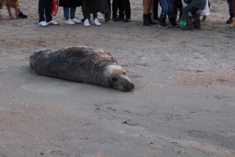 De aangespoelde zeehond lokte heel wat kijklustigen.