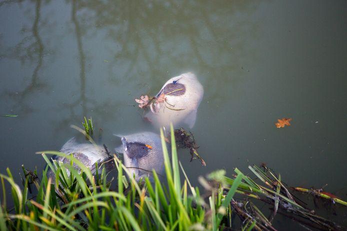 Dode vissen in de Berkel na lekkage van de persleiding nabij Lochem.