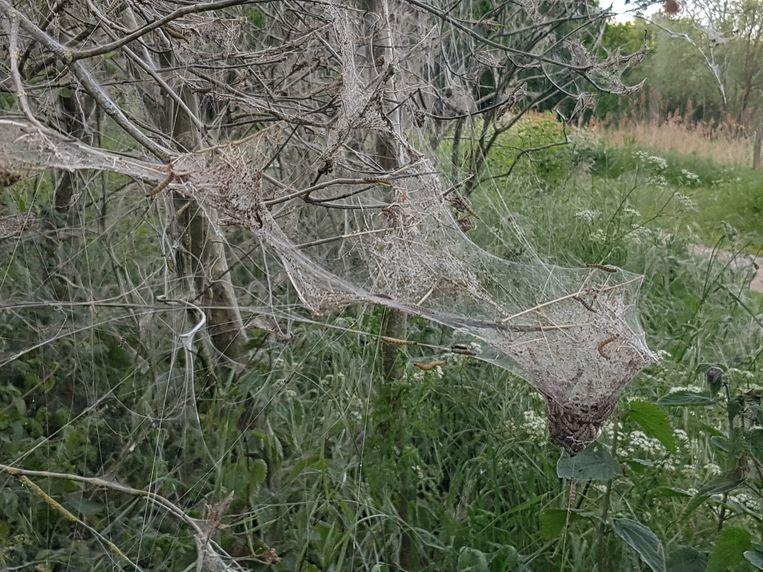 De rupsen van de spinselmot pakken hele bomen in, ook al zijn ze onschadelijk